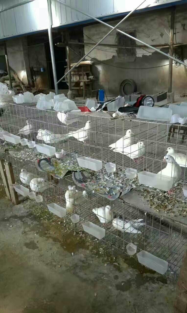 家养肉鸽出售