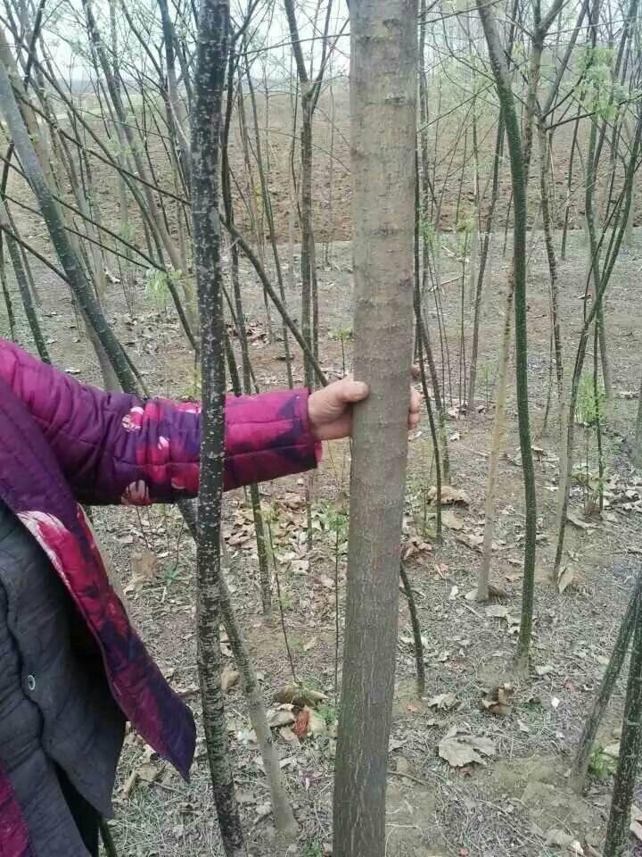 法國梧桐30畝3-10公分  法桐一般是指三球懸鈴