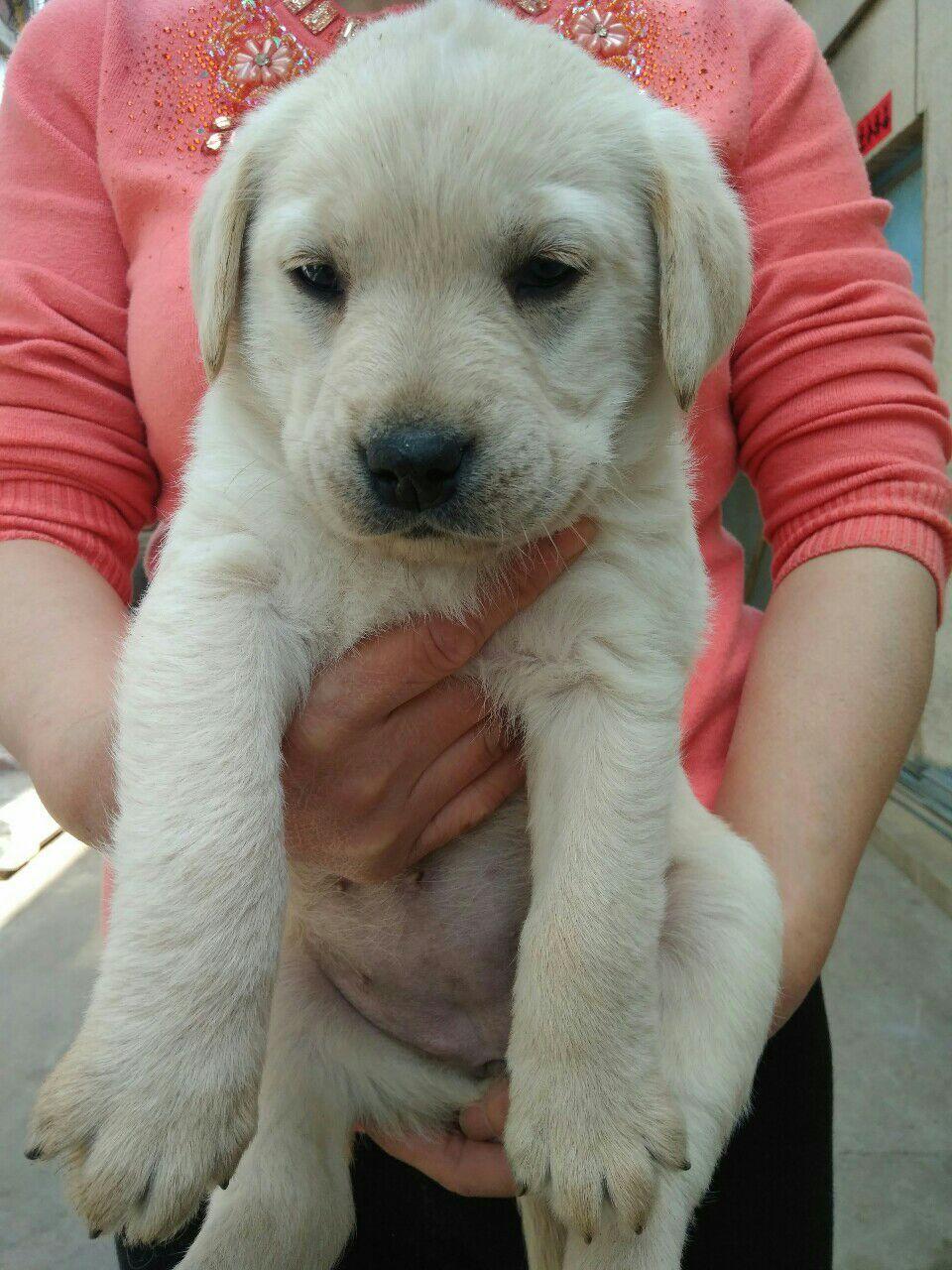 出售拉布拉多幼犬(1个半月)体重8−−10斤