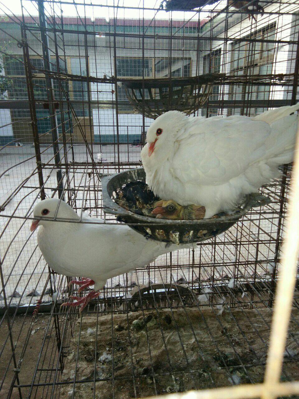 肉用鴿白羽王