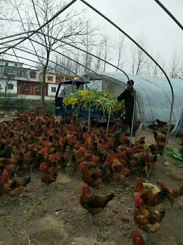 冬瓜土鸡养殖基地
