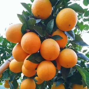 赣南信丰脐橙
