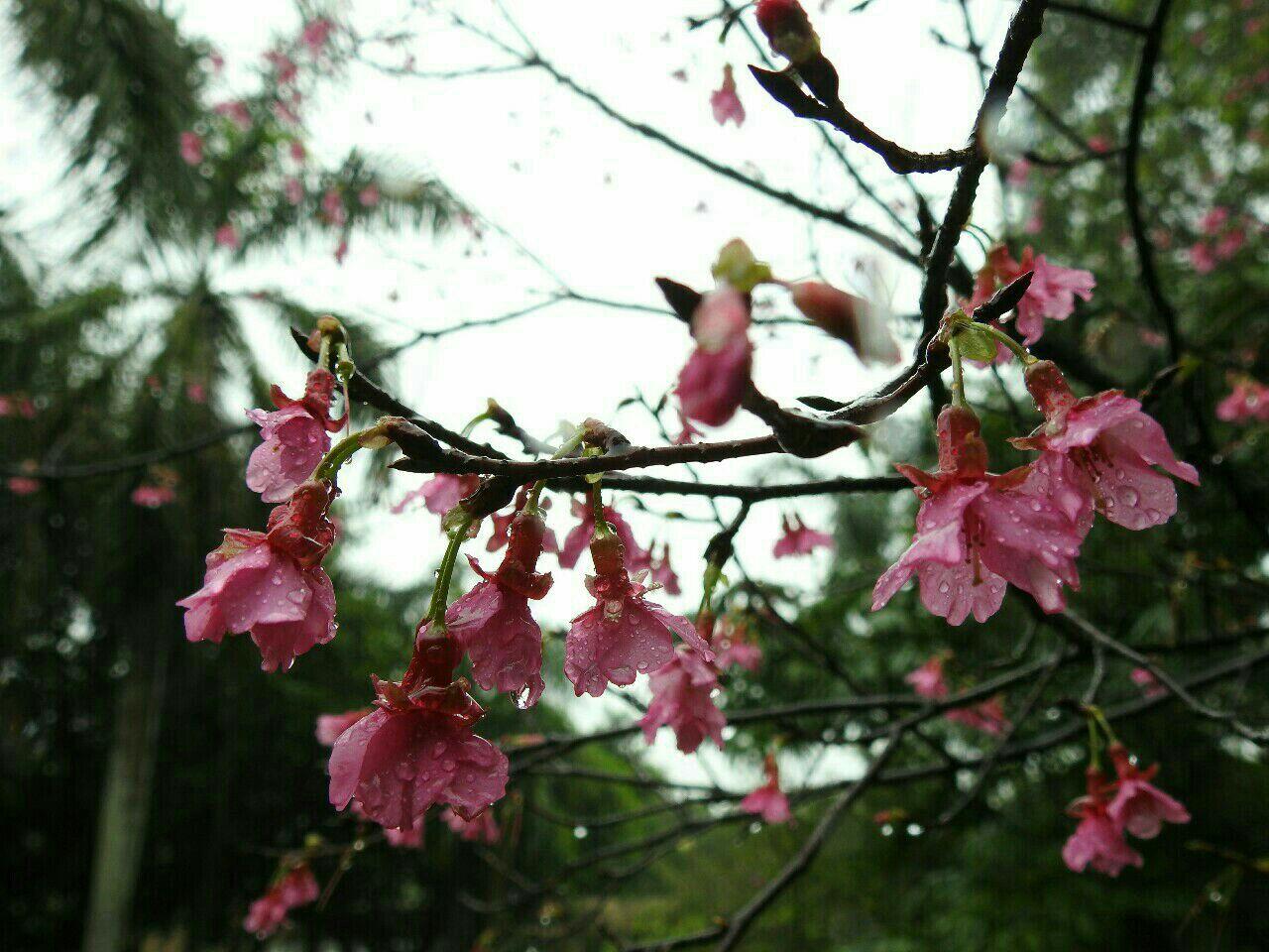 《花》你若盛开,蝴蝶自来,摄于珠海度假村酒店园区,系列3:雨中樱花