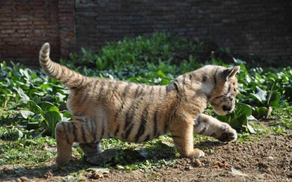 驻马店南海动物园里的东北虎宝宝走猫步萌萌达,游客争着要摸老虎屁股!