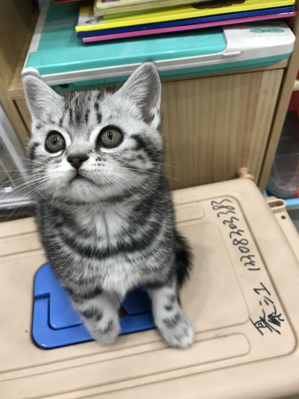 美短虎斑幼貓找新家