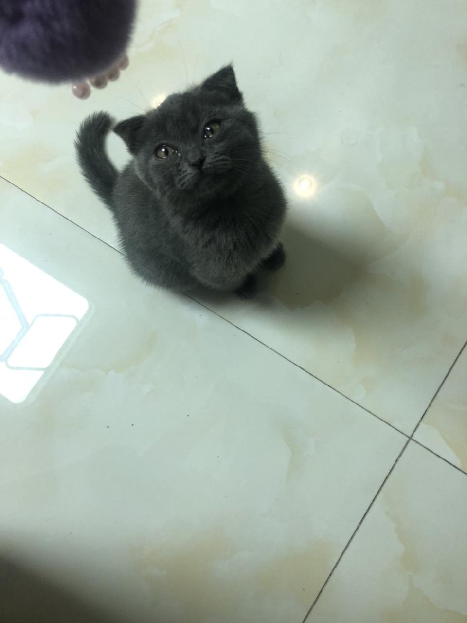 本人外出,因家中无人照顾,现出售折耳蓝短猫咪一只,3针疫苗均已打完,带猫粮,猫砂盆,猫营养膏,猫耳油...