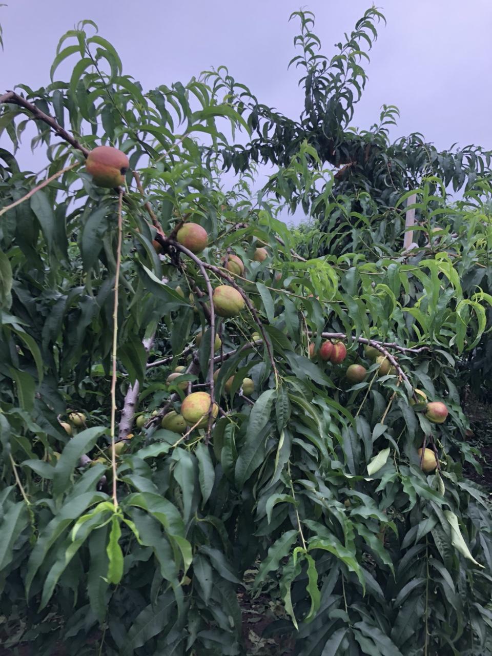 油桃,毛桃,番油桃