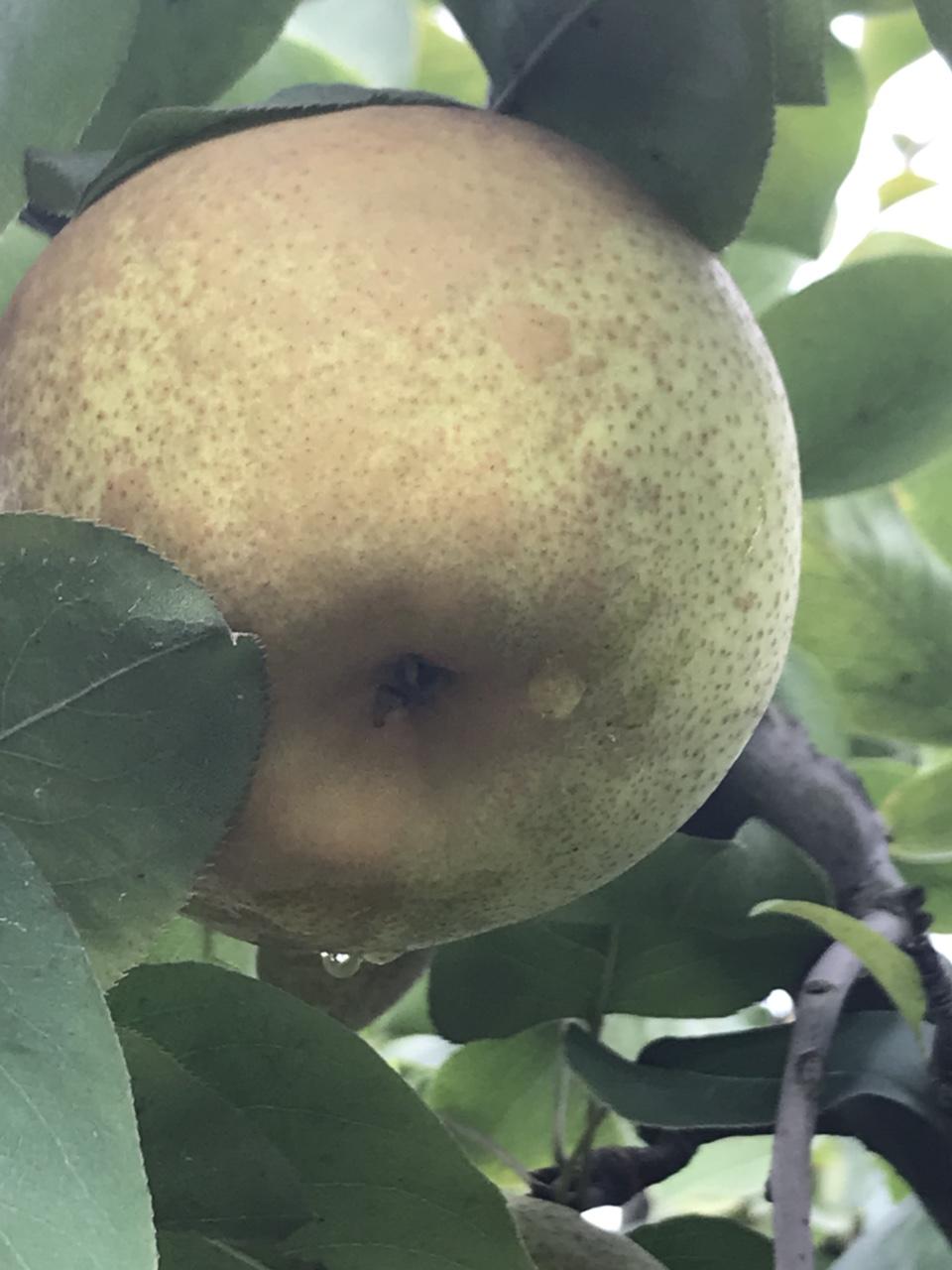 梨子结束喽