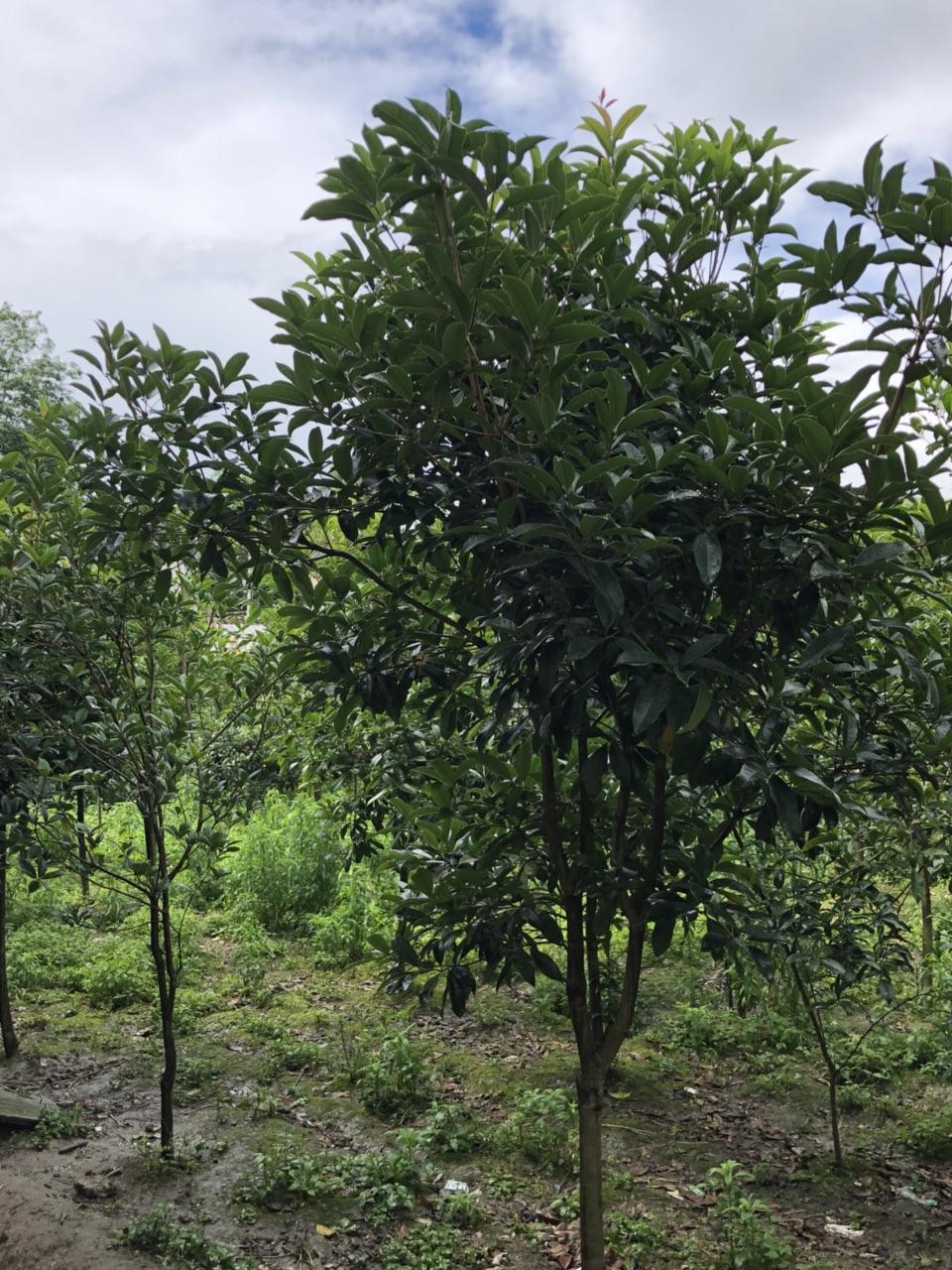 桂花树低价出售