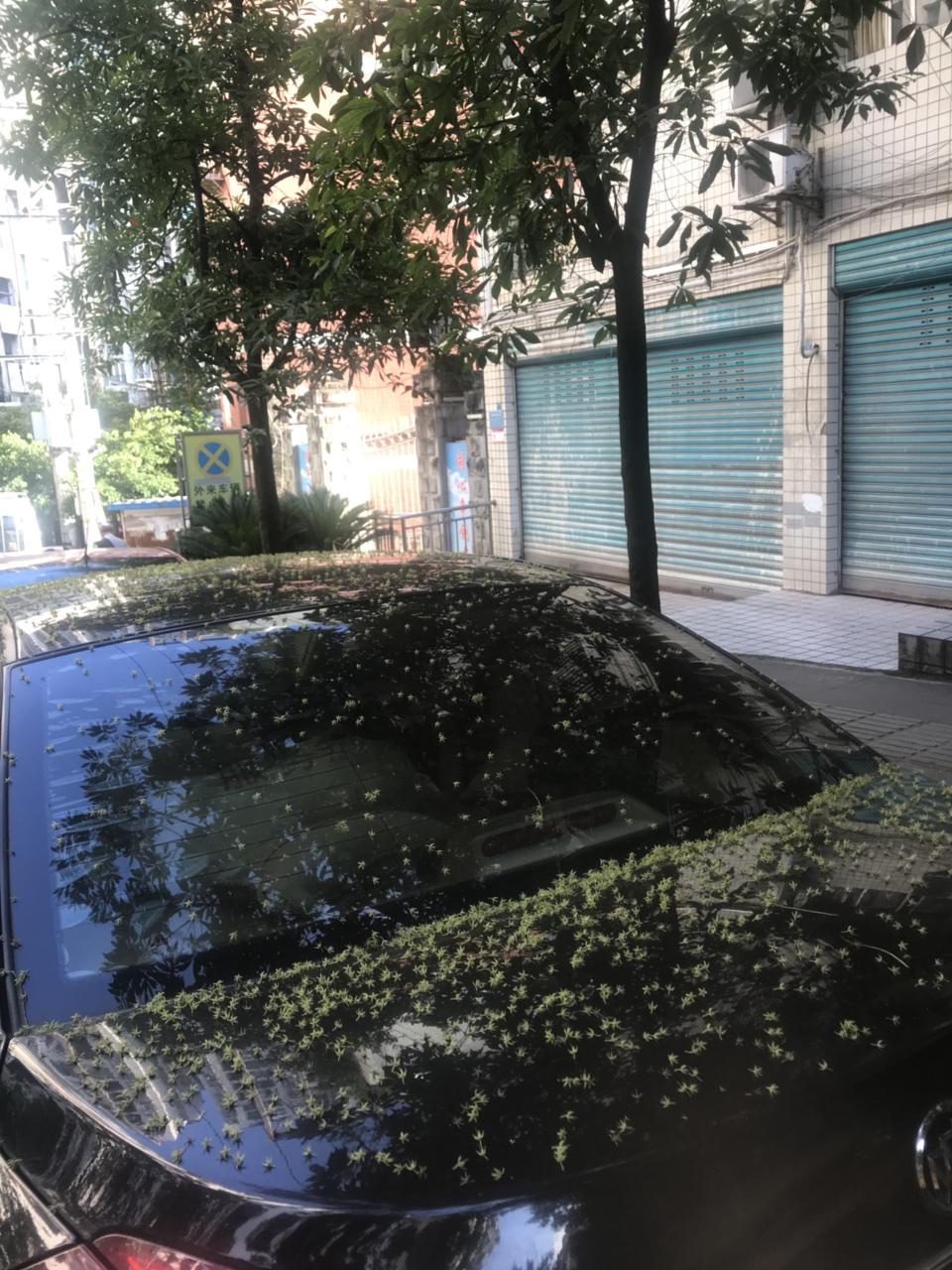 不晓得当初是哪个拍脑门作的决定用这种树做行道树,落得满车不说,风一吹,到处都是,不仅污染环境还给环卫