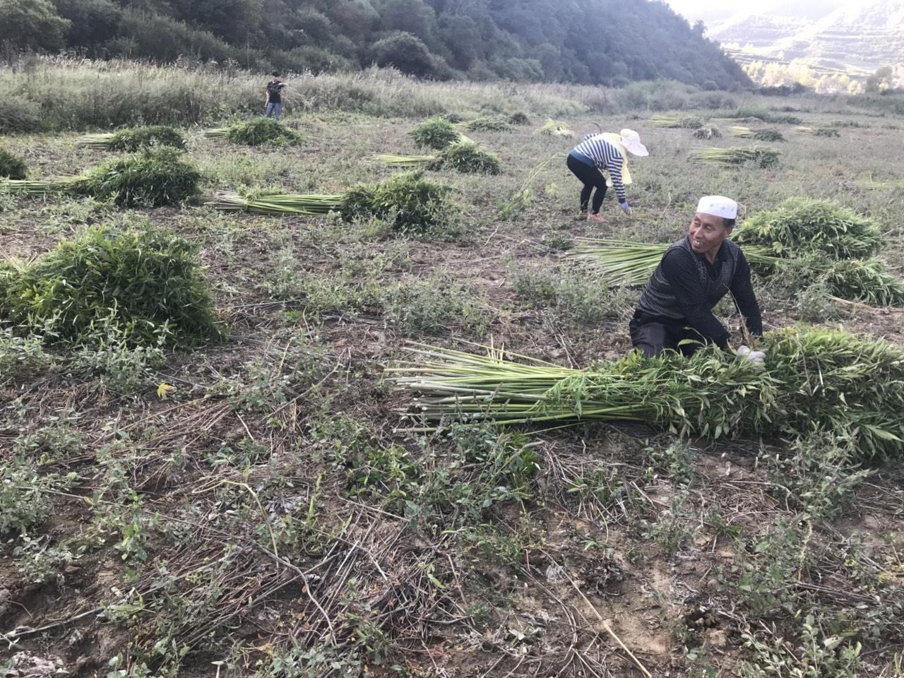 丰收节,看张家川农民朋友们挖洋芋剁麻秆的快乐瞬间