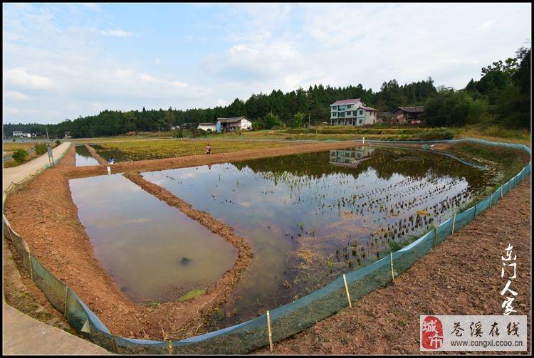 【苍溪】优质水稻小龙虾 共作荞子坝【图】