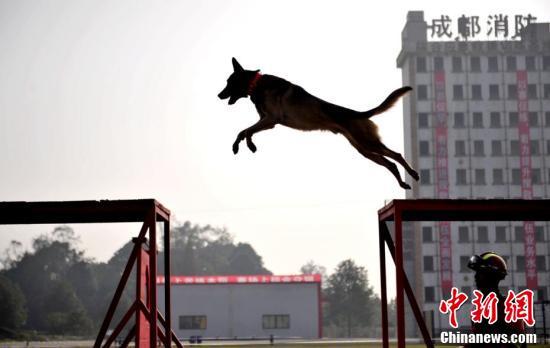 12月7日,四川消防搜救犬竞技赛在成都举行,31只支搜救犬现场PK