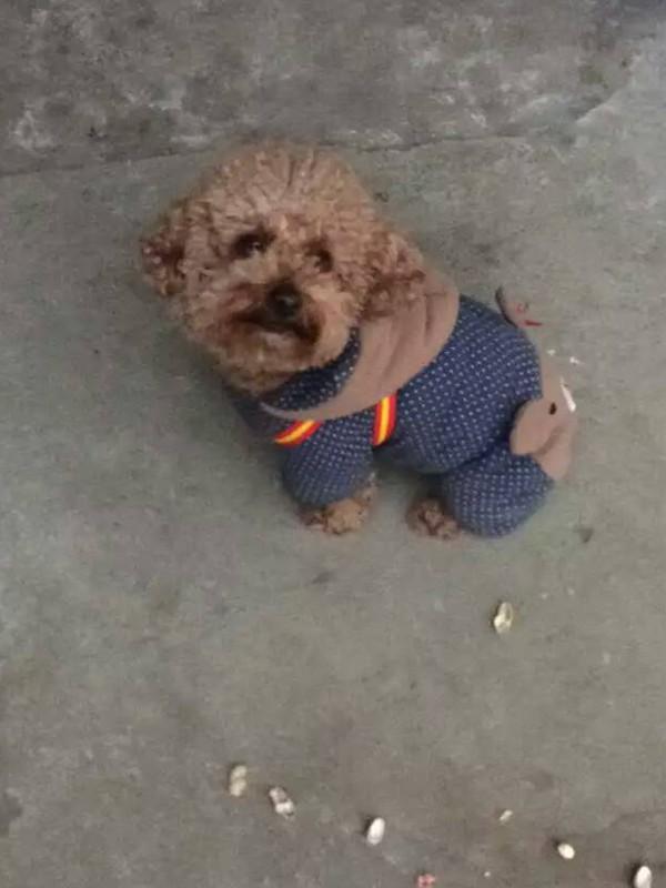 寻丢失的泰迪,很急,狗狗与主人相处5年,感情深厚,希望找回它