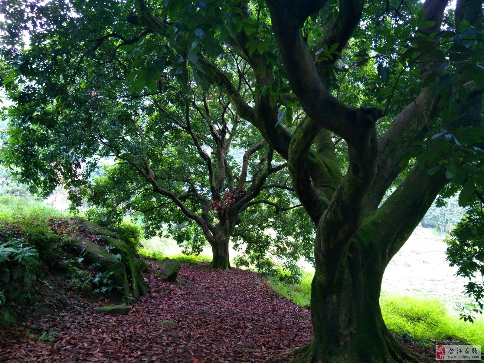 据考察,目前黄金湾最老荔枝树龄达500年之久.