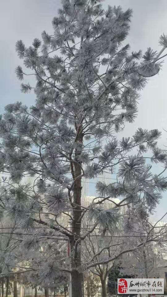我的家乡瓜州下雪的景色好美,到处银装素裹