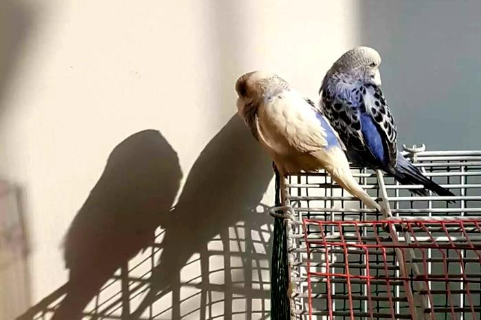 豌豆,米米在家等你【蓝色虎皮鹦鹉(豌豆)正月初一丢失,急寻】