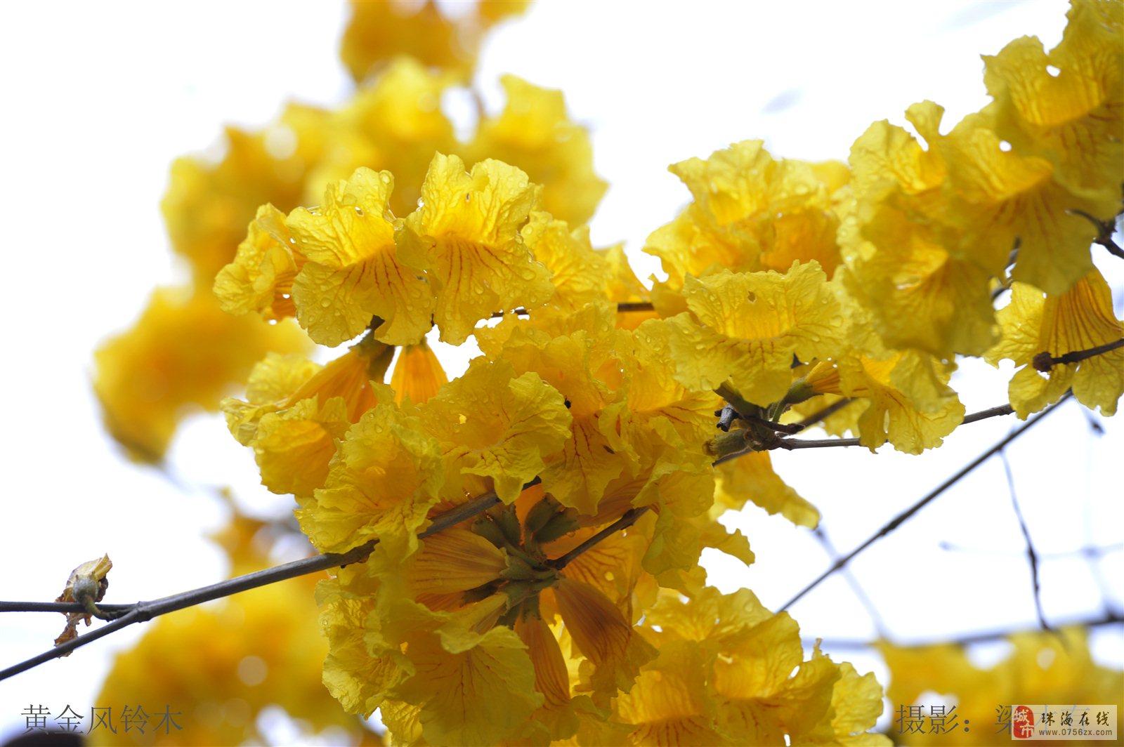 《花》你若盛开,蝴蝶自来―摄于珠海度假村园内 系列2:黄金风铃木