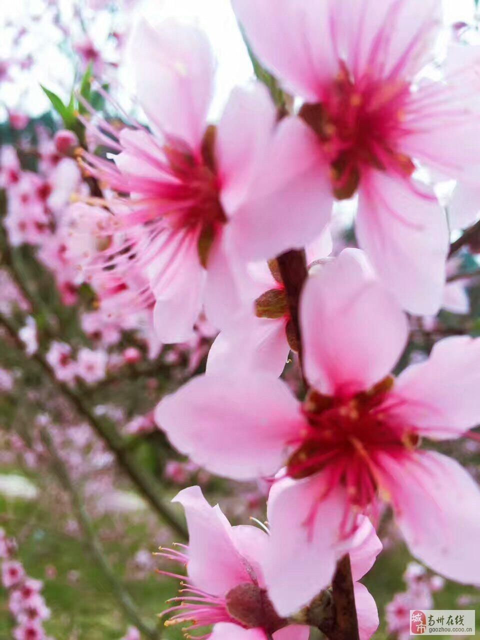 三生三世张家界,春暖花开桃花溪