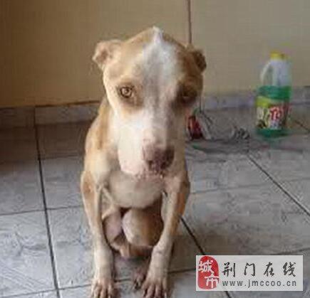 主人把狗狗绑在院子里没吃没喝,饿的只能吃雨水!