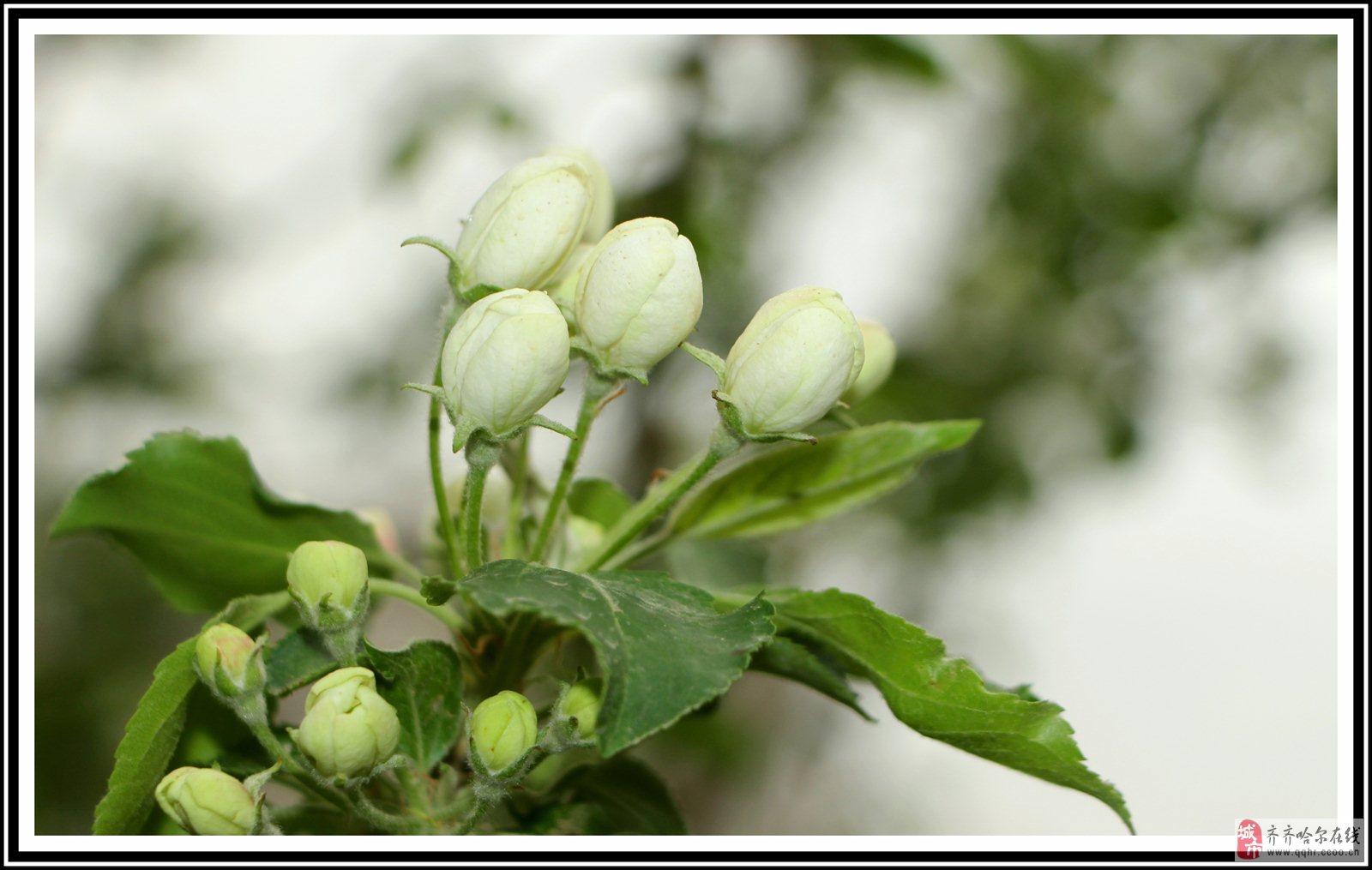 赛梨花――在大齐帝国拍摄的花