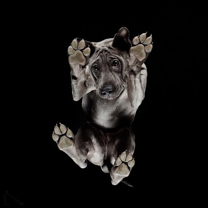 很多很有特色的狗,让它们站在这块透明的玻璃上,拍下它们神情和姿态