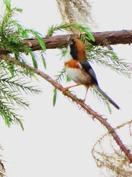 【原创】红头长尾山雀――中国最小的鸟(图片)
