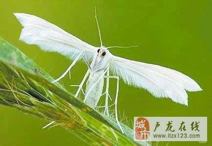 卢龙县开展第一代美国白蛾防治工作