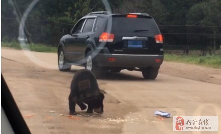 八达岭野生动物园的大黑熊都想钻进车里坐坐了。