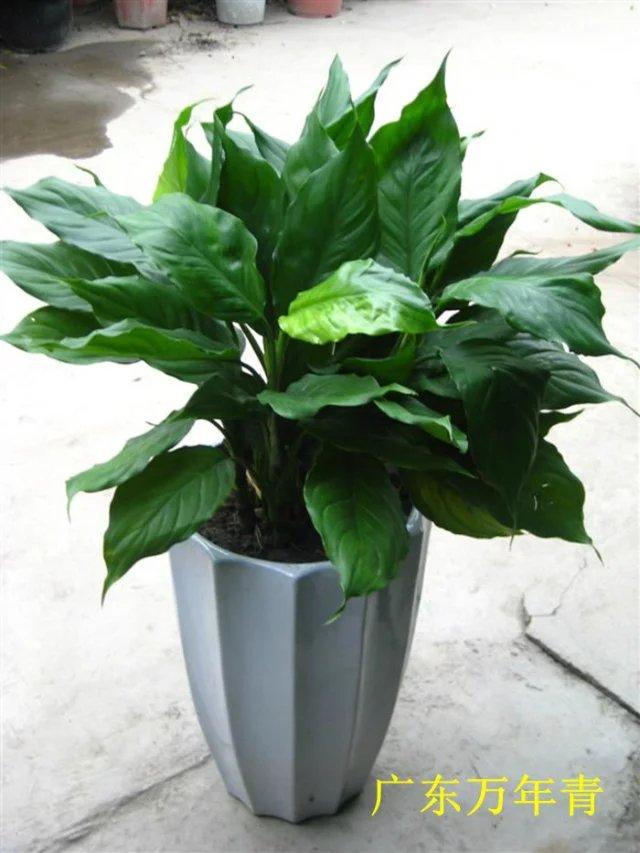 华亮园艺推荐绿色植物-广东万年青,吸收甲醛等有毒有害气体,四季常青