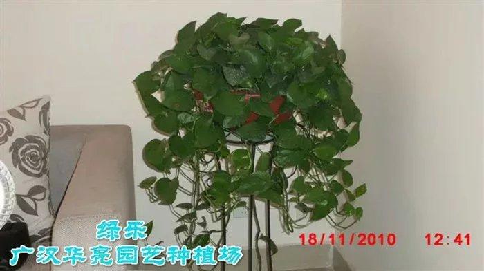 盆绿萝-广汉市华亮园艺种植场推荐绿色室内植物(图片)