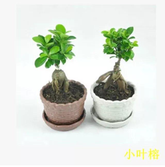 小叶榕来一棵~~~广汉市华亮园艺种植场推荐室内绿植(图片)