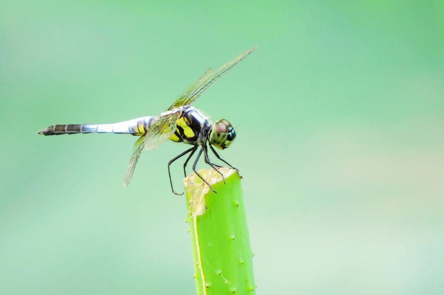 【蜻蜓】林树回葱�`,笙歌入杳冥。湖光迷翡翠,草色醉蜻蜓(图片)