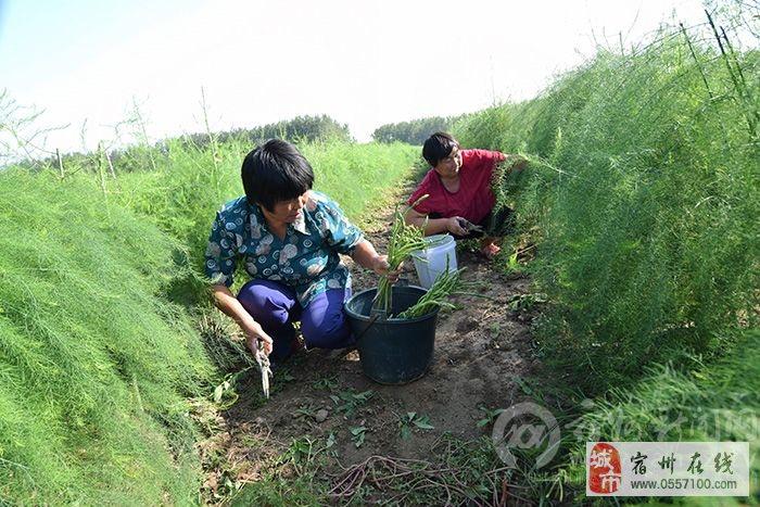 芦笋丰收效益高