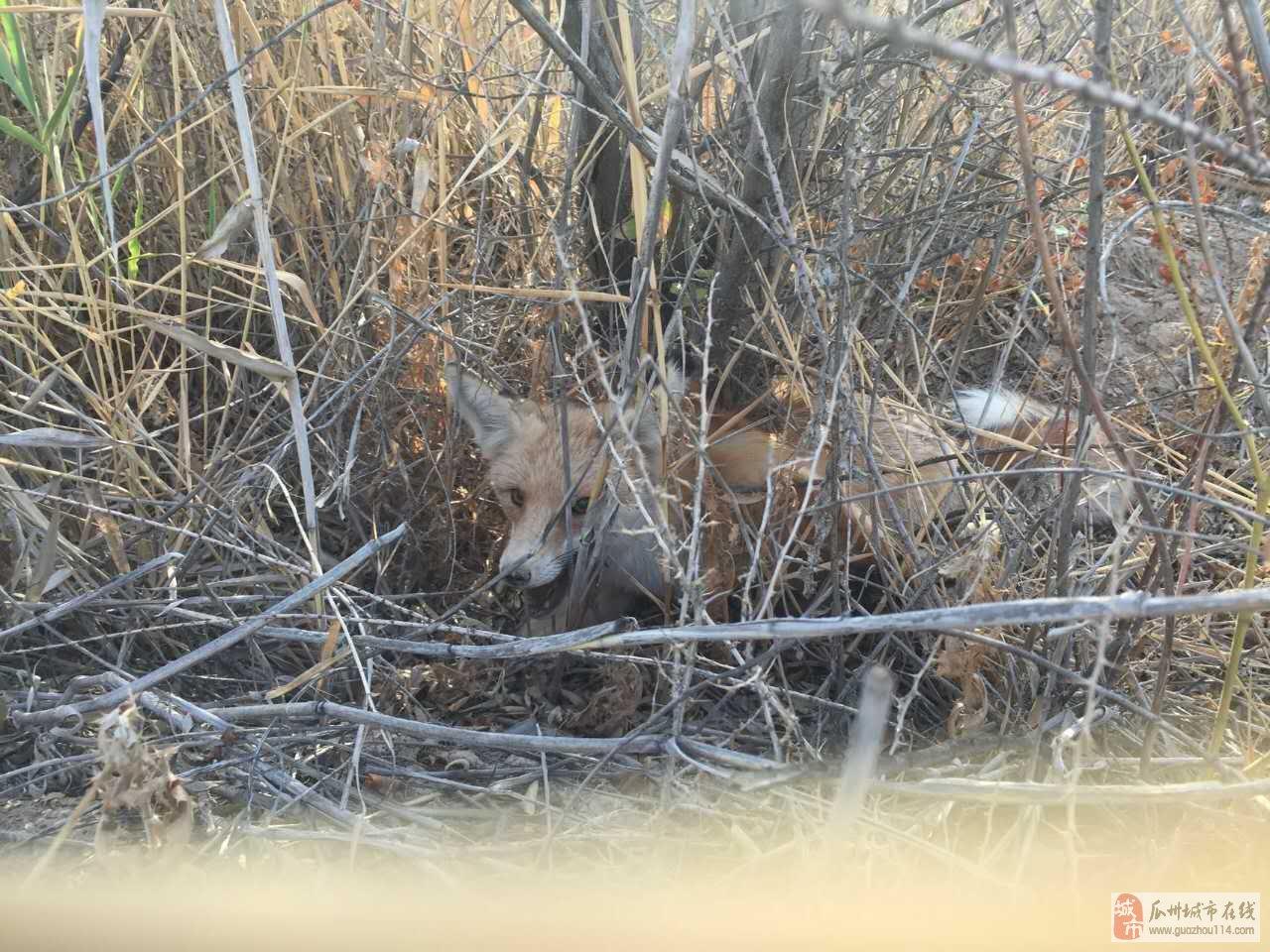 瓜州网友在郊外徒步,成功解救一只被猎人夹住的狐狸