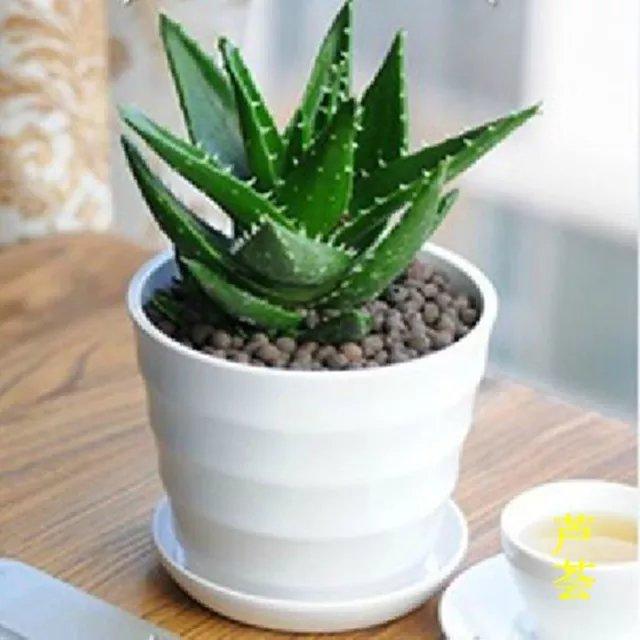 芦荟――华亮园艺推荐一种用法很多,作用很广的植物哦