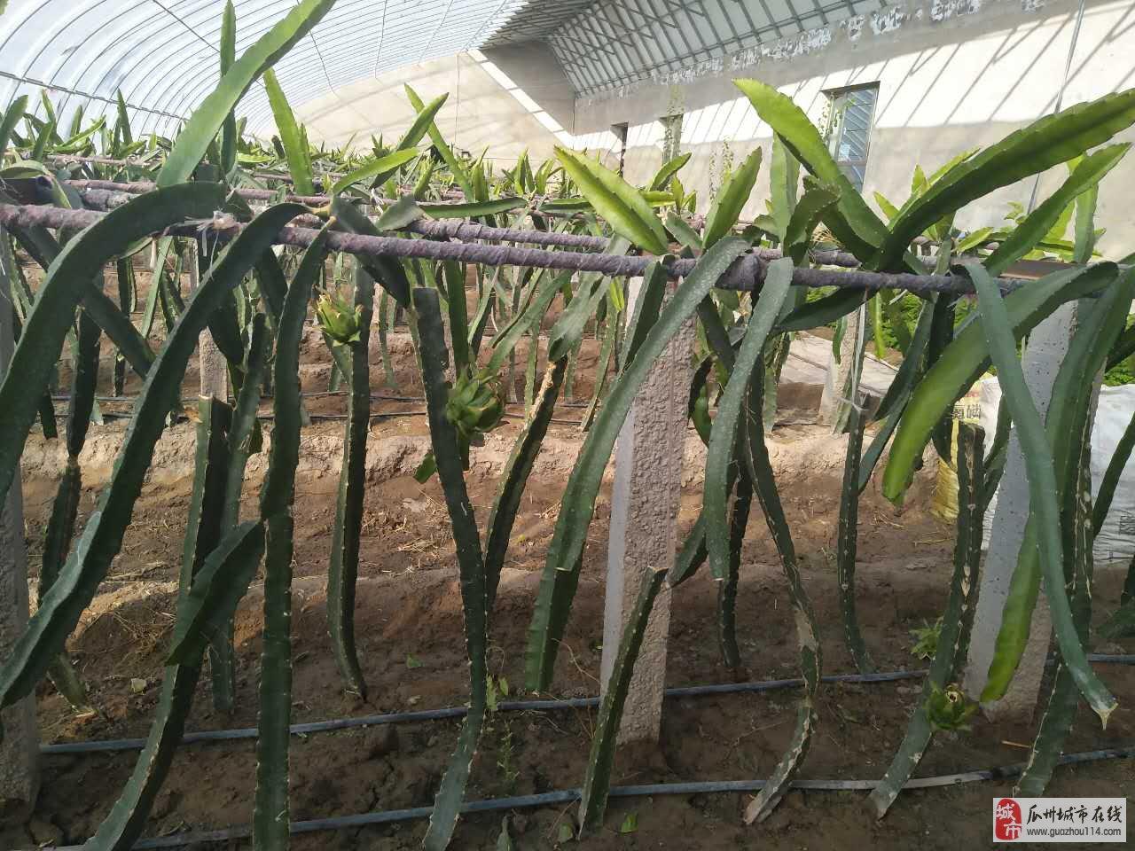 瓜州引进台湾火龙果首批果子即将成熟