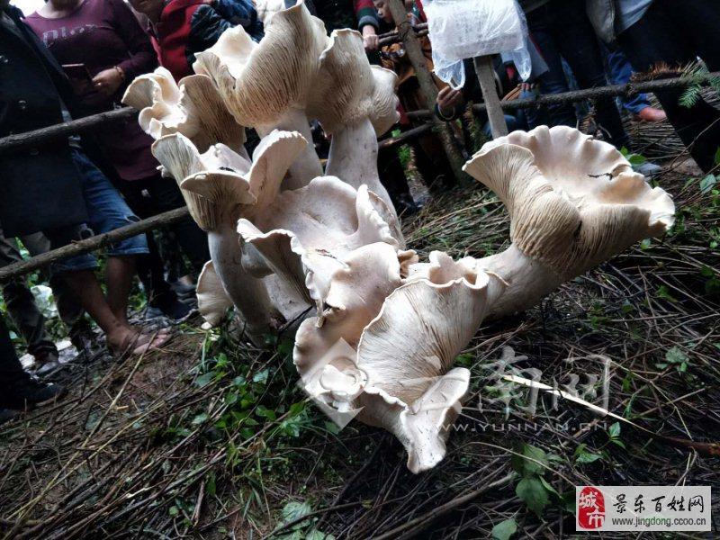 """云南""""野生蘑菇王""""引众人围观 网友称吃一口长生不老"""