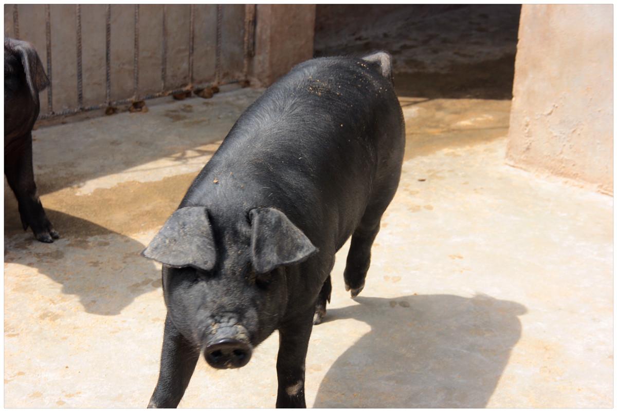 壁纸 动物 狗 狗狗 猪 1200_803