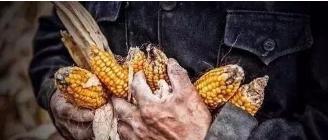 在广饶种一亩玉米,到底能赚多少钱?结果震惊..