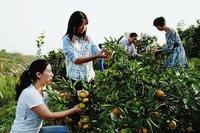 城固23万亩柑桔赚了5个亿