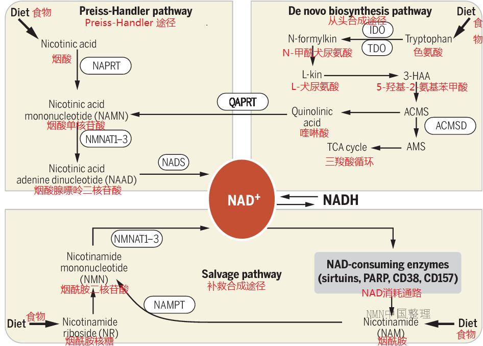 关于NMN/NAD+的七个谣言,你信了吗?