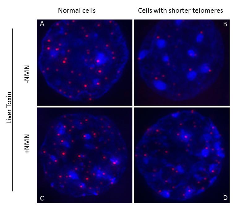 "《Cell》杂志:NMN可维持端粒长度,""长生不老""或可实现!"