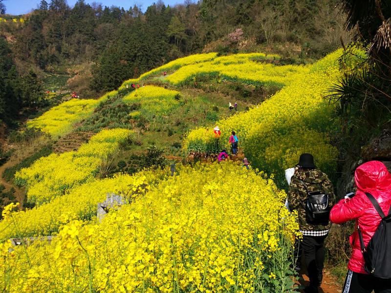 汉中勉县:高山油菜迎盛花期 绘制乡村风情画
