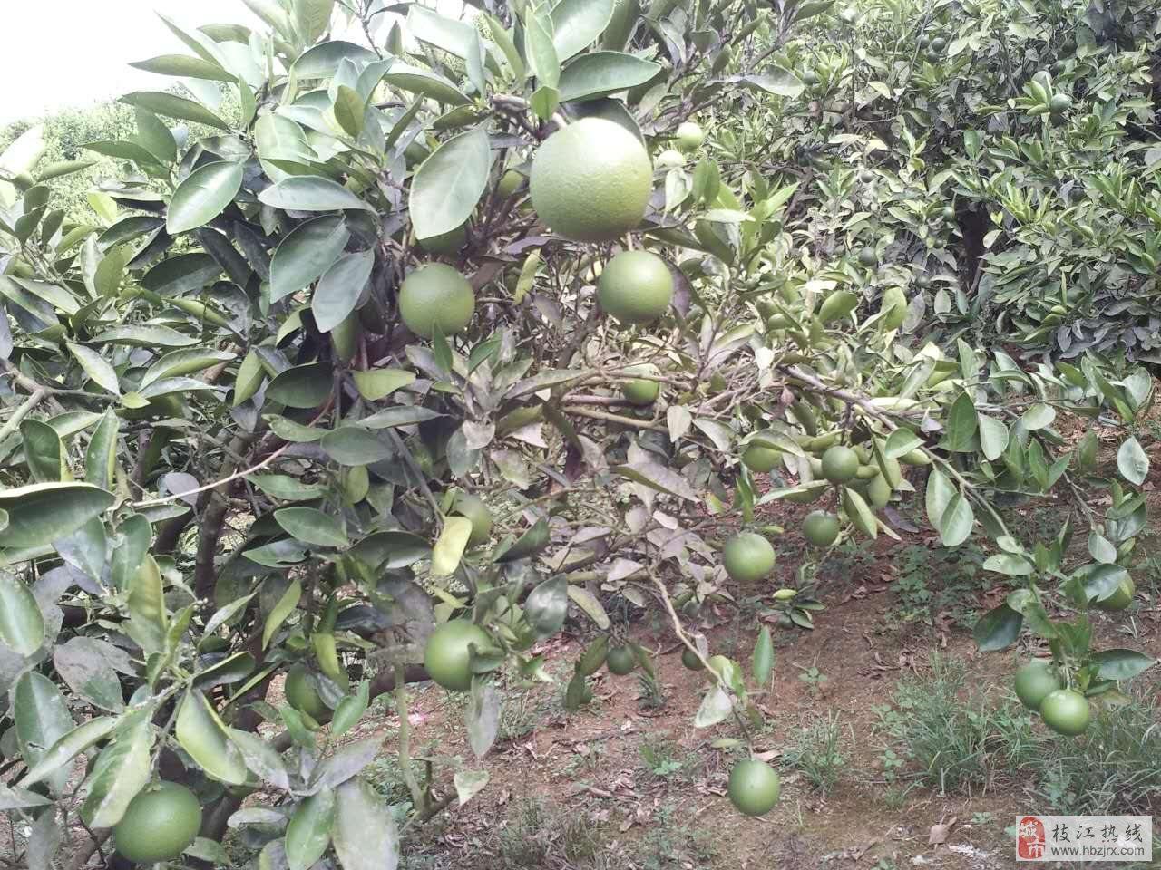出售枝江仙女20亩柑橘示范园+楼房住宅一套