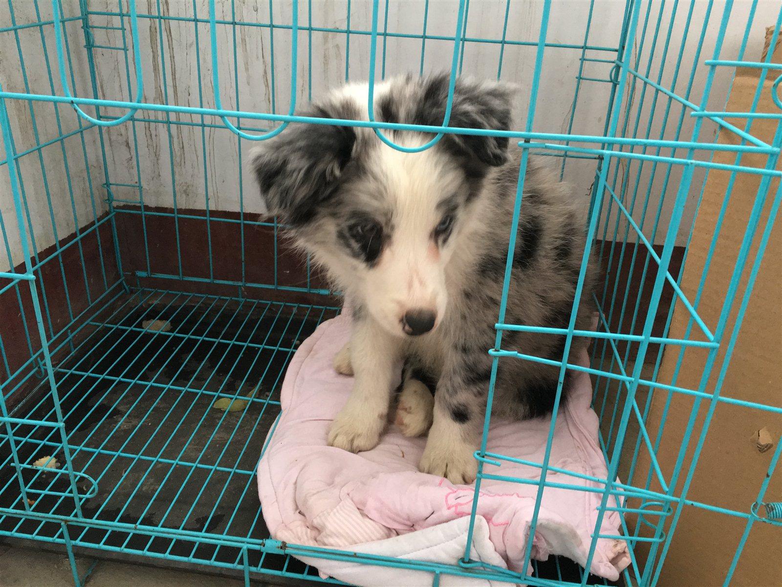 出售三个月陨石边境牧羊犬