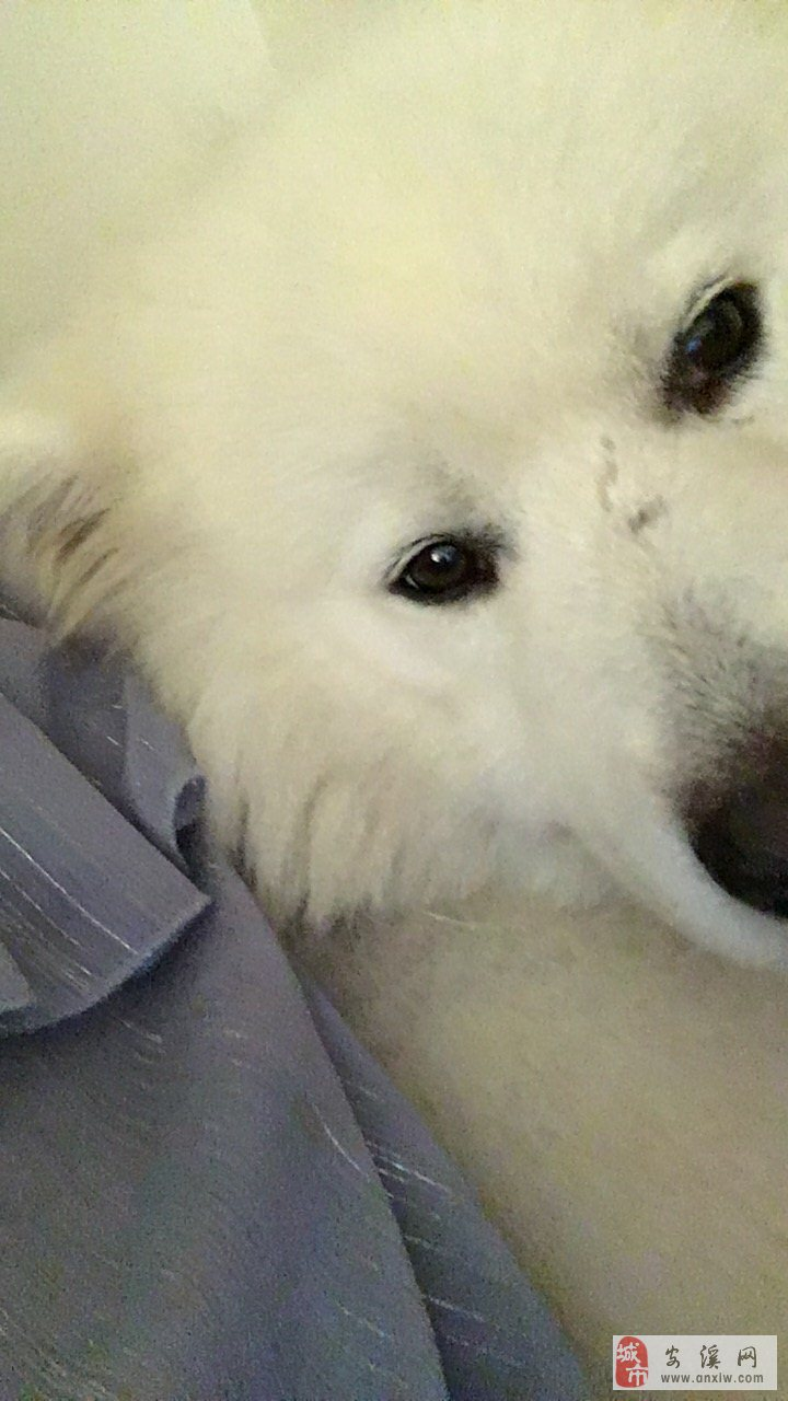 寻狗启示,萨摩耶,公,成犬,体重50.60斤,于9月10日凌晨2点走失在沼涛中学附近。有捡到或者看到